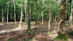 In einem Mittelwald bilden locker stehende, mächtige Bäume die Oberschicht.