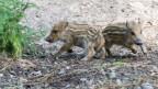 Wären Säugetiere wie Wildschweine fast ausgestorben?