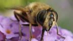 Eine Biene auf einer Blüte.