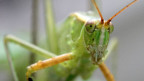 Tropische Tropische Heuschrecken haben eine eigene Art zu kommunizieren.