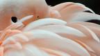 Sind auch die Federn des Flamingo ein Wunderwerk?