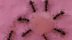 Ameisen nutzen Werkzeuge, und wenn sie mehrere zur Auswahl haben, testen sie sogar, welches sich am besten eignet.