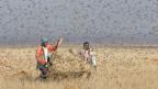 Zwei Männer jagen mit einem Netz nach Heuschrecken