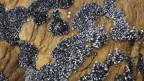 Muscheln bewachsen einen Felsen.