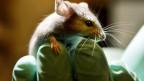 Maus auf einer Hand mit Handschuhen