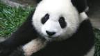 Neben dem Panda gibt es viele unbekanntere Tiere, die vom Aussterben bedroht sind.
