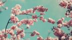 Kirschblüten zaubern Frühlingsgefühle hervor, «Pop Routes» spielt den passenden Soundtrack!