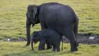 Die Bestände von Elefanten haben sich etwas erholt, deshalb wollen gewisse Länder die Tiere wieder vermehrt schiessen und das Elfenbein exportieren dürfen: Ein Thema an der Artenschutzkonferenz in Genf.