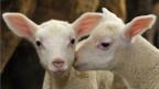 Lammfleisch-Konsum in der Schweiz