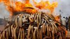 Gewildertes Elfenbein wird in Kenya verbrannt