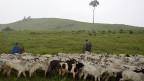Rinderherde im brasilianischen Amazonasstaat Para. Der Urwald wurde der Fleischproduktion geopfert.