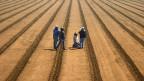 Das neue US-Einwanderungsgesetz sollte erlauben, ausländische Arbeitskräfte flexibler anzustellen. Farmarbeiter beim Artischocken pflanzen, am 12. April in der Nähe von Watsonville.