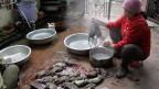 Eine Frau bereitet Rattenfleisch zu. Symbolbild.