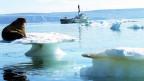 Der Klimawandel wirkt sich durch Schmelzen des Lebensraums auf die Tierwelt in der Arktis aus.