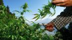 Viel zu viele verdienen am florierenden Cannabis-Anbau. Auch Polizisten. Auch Politiker. Symbolbild.