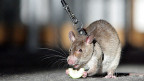 Ihr guter Geruchssinn macht Ratten seit neuestem Polizeidienst-tauglich.