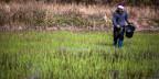 Ein Bauer  arbeitet an seinem Reisfeld in der nordöstlichen Provinz Udon Thani am 22. Januar 2014.