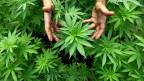 Goldgräberstimmung dank legalem Marihuana-Geschäft.