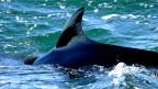 Für die Schweizer Umweltorganisation Oceancare ist jeder kommerziell erlegte Wal einer zuviel, da eine tiergerechte Tötung bei der Waljagd gar nicht möglich sei.