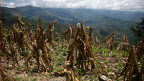 Durch Dürre ruinierte Mais-Ernte.