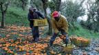 Afrikanische Erntearbeiter bei der Orangen-Ernte.