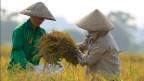 Die weltweit guten Ernten in den wichtigen Anbauländern haben sichtbare Folgen für den Agrarmarkt. Reisernte in Vietnam.