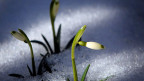 Wann genau die ersten Schneeglöckchen im Garten blühen. Die Forschung interessiert sich dafür .