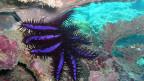 Die meisten Forscher glauben, dass die Erwärmung der Meere als Folge des globalen Klimawandels ein wesentlicher Grund ist für die Dornenkronen-Seestern-Plage. Auch Überfischung sei ein Grund weshalb sich die Tiere so stark vermehren.