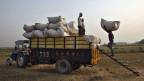 Ein Arbeiter lädt auf einem Feld in Punjab, Indien ein Bündel Weizen in einen Traktor-Wagen. Weltweit wird mit Nahrungsmitteln spekuliert. Wie sich das auf den Preis auswirkt, ist umstritten.