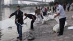 Die chinesische Regierung tut sich schwer mit der Krisenkommunikation. Arbeiter entfernen tote Fische aus dem Fluss Haihe in in Tianjin.