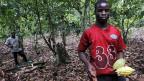 Der bittere Rohstoff kommt vor allem aus Westafrika, wo immer öfter Kinder Hand anlegen, um die steigende Nachfrage zu befriedigen. Bild: Junger Pflücker in einer Kakaoplantage in der Elfenbeinküste.