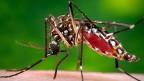 Die Bösewichtin der Tropen, die Stechmücke der Spezies «Aedes Aegypti», überträgt durch ihre Stiche neben Malaria und Denguefieber  auch das Zika-Virus. Zurzeit ist Brasilien mit einer Zika-Epidemie konfrontiert.