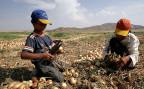 Flüchtlinge ernten Zwiebeln auf einem türkischen Landwirtschaftsbetrieb.