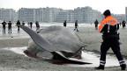 Fatales Falschabbiegen in die Nordsee: Gestrandeter Pottwal im belgischen Heist.