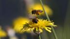 Die Honigbienen leiden unter dem Bienensterben. Der Mensch ist daran nicht unschuldig.