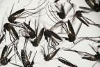 Stechmücken Aedes Aegypti
