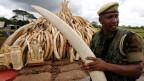 Über 100 Tonnen beschlagnahmtes Elfenbein sollen im Nairobi National Park in Brand gesetzt werden.