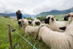 Schafherde in der Gegend von Brig