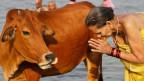 Für die meisten Hindus ist die Kuh unantastbar.