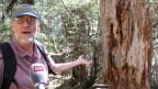 Nathan Stevenson: Wegen der Trockenheit fehlt dem Baum der Saft, um die Borkenkäfer abzustossen.