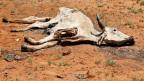 Die Felder sind ausgetrocknet, der Boden staubig, das Vieh mager oder tot.