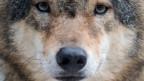 Je mehr Wölfe es in der Schweiz gibt, desto grösser ist die Wahrscheinlichkeit, dass er in Siedlungen auftaucht.
