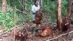 Orang-Utan-Babies unterscheiden sich im ersten Jahr kaum von Menschen. Einzig, dass sie nicht nur Milch trinken, sondern auch Früchte essen. Die Indonesierin Wiyanti ist Orang-Utan-Babysitterin der weltweit grössten Aufnahme- und Auswilderungsstation von Orang-Utans.