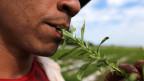Dort, wo die Stevia-Pflanze traditionell wächst und wo seine Süsskraft vor langer Zeit entdeckt wurde, fordern die Ureinwohner einen gerechten Anteil am Erfolg.