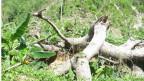 Die grüne Farbe ist wieder zurück. Aber vom Tropenwald hat Wirbelsturm Matthew im Südwesten Haitis nur wenig zurückgelassen.