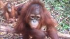 «Valentino» ist wie viele andere Orangutans wegen Palmöl-Plantagen aus seinem Lebensraum vertrieben worden.