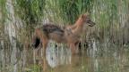 Ein Goldschakal lief am letzten Donnerstag einem Ornithologen im Linthgebiet vor die Linse.