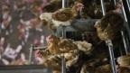 Hühnerfarm in Bergentheim, Niederlande.