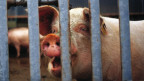 In Holland hat es 12 Mio. Schweine; in der Schweiz 1,5 Mio.