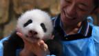 Audio «Das Geschäft mit den Panda-Bären» abspielen.